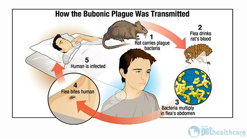 the symptoms and the course of the bubonic plague Symptoms of the plague are severe and include a general weak and achy  are  effective at treating bubonic plague, if started early in the course of illness.