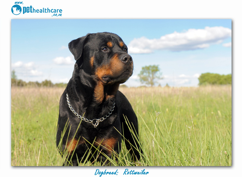 Most Popular Dog Breeds In South Africa