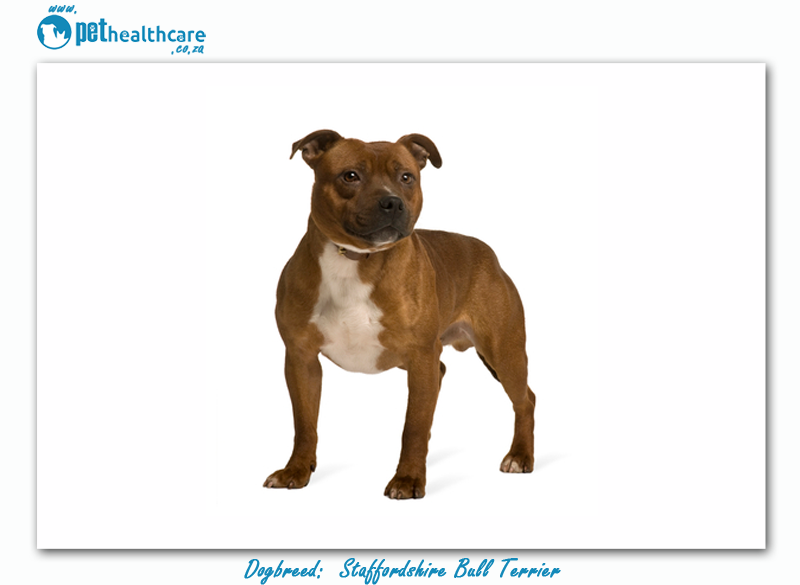 top dog breeds in south africa staffordshire bull terrier