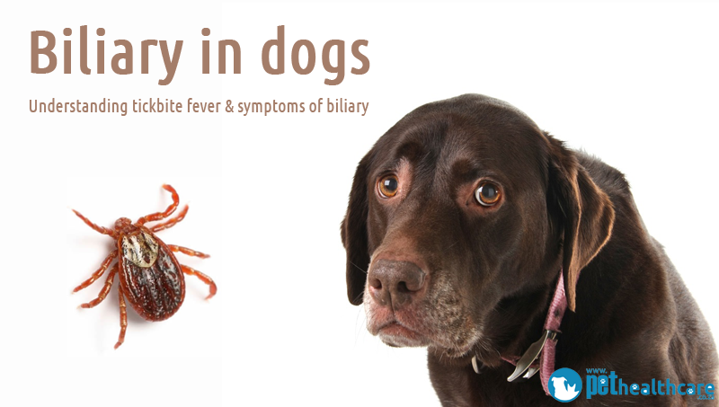 Biliary in dogs: understanding tickbite fever & symptoms of