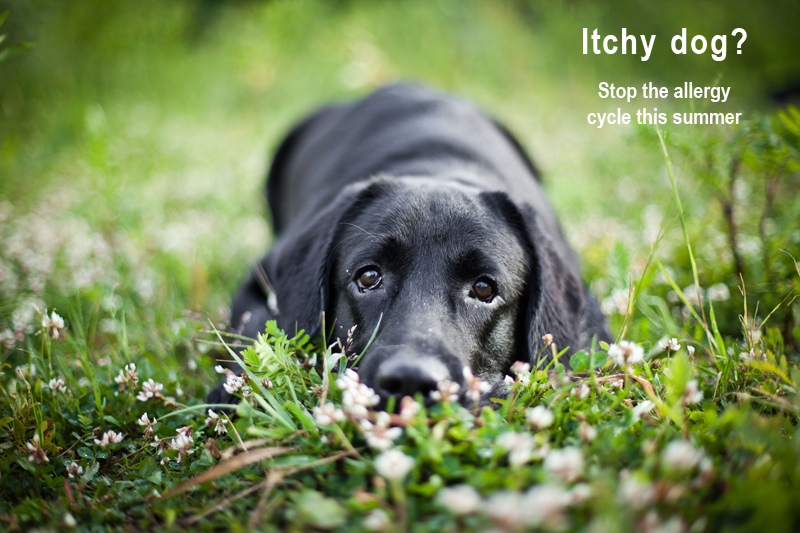 Itchy Dog Stop The Allergy Cycle This Summer Pethealthcare Co