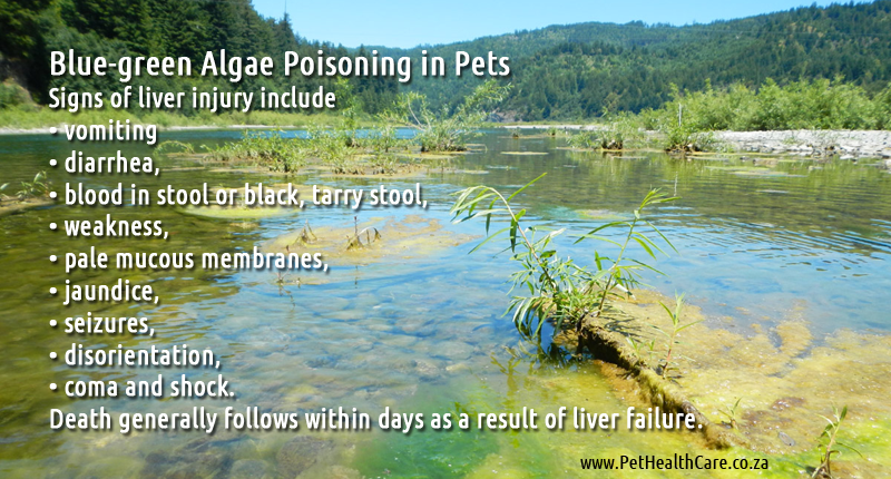 Blue-green Algae is toxic for pets and humans | pethealthcare.co ...