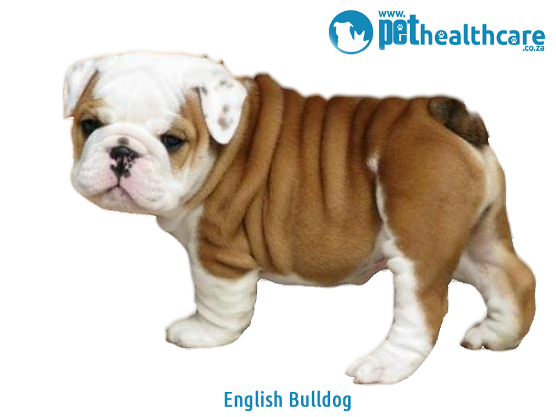Pet Insurance, Most Expensive Dog Breeds, English Bulldog, German Shepherd, French Bulldog, Chow Chow, Tibetan Mastiff, Irish Wolfhound, Great Dane, Puppies, Rottweiler, Bernese Mountain Dog, Basset Hound