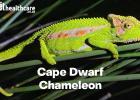 about the Cape Dwarf Chameleon