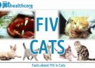 feline immunodeficiency virus FIV Cats