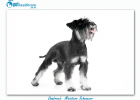 Top dogbreeds in South Africa Miniature Schnauzer