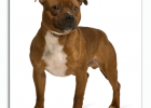 Top dogbreeds in South Africa Staffordshire Bull Terrier