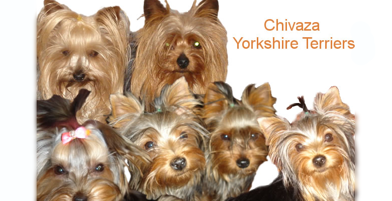 Yorkshire Terrier Breeder | pethealthcare co zaQuality