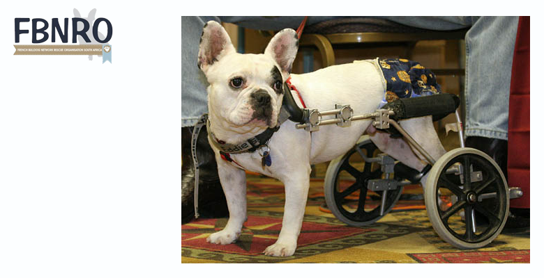 French bulldog rescue rehoming