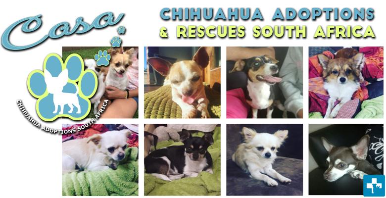 Chihuahua Adoptions SA   pethealthcare co zaChihuahua