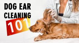 Ears, Dog Ears, Clean ears, Ear Cleaning, Best Ear Cleaning Advice, DIY Dog Ear Cleaning, Tips from a Vet, Pet Healthcare