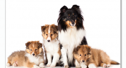 Top dogbreeds in South Africa Shetland Sheepdog