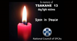 dog fighting is illegal in South Africa SPCA Tsakane