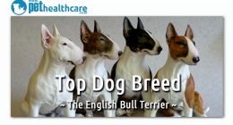 English Bull Terrier, Top Dog Breed, South Africa, dieregesondheid, Animal Health, Pet Insurance, diere versekering, troeteldierversekering suid afrika, Pet Health Care, Pet Care health, petcarehealth, pethealthcare, ask the vet, dieremaniere, animal behaviour, sick animals, siek diere, honde, katte, Cats, Dogs, veterinary advice, dog walks, dog events, pet wellness, kitten care health, pet care health insurance, pet insurance health, pet care news, pet health care questions, pet care health claim form, pet