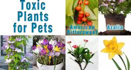 Toxic Plants for Pets , American Bittersweet, Azalea, Clematis, Crocus, Crown of Thorns, Daffodil, Day lily, Easter cactus, Easter Lily, Foxglove, Hyacinth , Lily of the Valley , Morning Glory, Narcissus, Peace lily, Rhododendron, Tiger Lily ,Tulip,